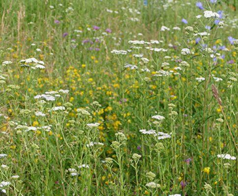 Kräuter-Rollrasen: Robuster Blüher für die Bienen